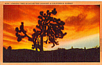 Click here to enlarge image and see more about item p24492: Joshua Tree in a California Sunset Postcard p24492