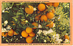 Click here to enlarge image and see more about item p24496: California s Golden Oranges Postcard p24496