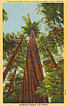 The Founders Tree, Redwood Highway, California