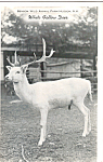 Click here to enlarge image and see more about item p24644: White Fallow Deer at Benson Wild Animal Farm