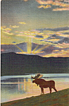 Click here to enlarge image and see more about item p24663: A Bull Moose Postcard p24663