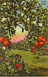 Click here to enlarge image and see more about item p24679: Florida Orange Groves Postcard p24679