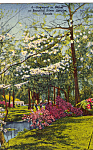 Click here to enlarge image and see more about item p24683: Dogwoods in Bloom Silver Springs Florida p24683