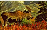 Click here to enlarge image and see more about item p24760: Bull Moose in Alaska Postcard p24760