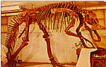 Click here to enlarge image and see more about item p24765: Anatosaurus