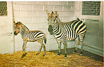 Click here to enlarge image and see more about item p24962: Chapman Zebra and Colt Postcard p24962