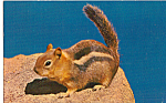 Click here to enlarge image and see more about item p24965: Chipmunk Postcard p24965