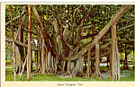 Click here to enlarge image and see more about item p24992: Grand Banyan Tree Postcard p24992