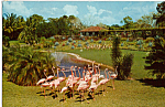 Click here to enlarge image and see more about item p25038: Flamingo Parade, Parrot Jungle, Florida