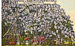 Click here to enlarge image and see more about item p25141: Jacaranda Trees in Florida Postcard p25141