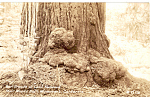 Click here to enlarge image and see more about item p25483: Burl Growth of California Redwood Muir Woods National Monument p25483