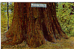 Roosevelt Redwood in Big Tree Grove Santa Cruz CA p25486