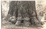 Click here to enlarge image and see more about item p25489:  Biggest Tree in Muir Woods National Monument CA p25489