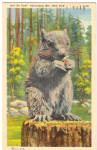 Click here to enlarge image and see more about item p26382: Grey Squirrel Postcard p26382