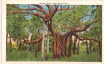 Click here to enlarge image and see more about item p26632: Banyan Tree Palm Beach Florida Postcard p26632