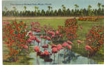 Click here to enlarge image and see more about item p26648: Flamingos of Hialeah Race Track Miami FL p26648