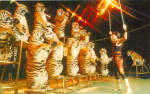 Click here to enlarge image and see more about item p26679: Flying Tigers  Circus World  Orlando  Florida p26679