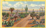 Click here to enlarge image and see more about item p26911: Various Species of Cactus on the Desert Postcard p26911
