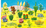 Click here to enlarge image and see more about item p26919: Various Species of Cactus of the Southwestern Desert