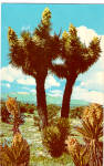 Click here to enlarge image and see more about item p26948: Joshua Tree Forest Postcard p26948