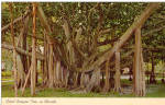 Click here to enlarge image and see more about item p27010: Giant Banyan Tree in Florida Postcard p27010