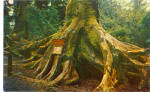 Click here to enlarge image and see more about item p27021: Octopus Tree Trees Of Mystery California Postcard p27021
