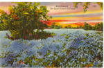 Click here to enlarge image and see more about item p27025: Blue Bonnets The State Flower of Texas