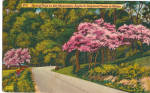 Click here to enlarge image and see more about item p27085A: Springtime in the Mountains,Dogwoods in Bloom p27085