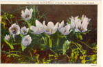 Click here to enlarge image and see more about item p27689: The Anemone, State Flower of South Dakota