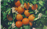 Florida Fruit Cluster with Orange Blossoms p27893
