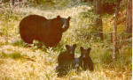 Mother Black Bear and Cubs Postcard p27894