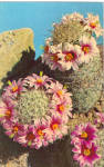 Click here to enlarge image and see more about item p27975: Fishhook Cactus Mammillaria Microcarpa Postcard p27975