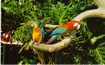 Click here to enlarge image and see more about item p28062: Parrots Busch Gardens Tampa  Florida p28062