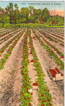 Click here to enlarge image and see more about item p28143: Strawberries Growing in Florida p28143