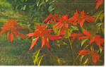 Click here to enlarge image and see more about item p28310: Double Poinsettia Postcard p28310