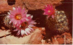Red Hedge Hog Cactus in Bloom