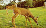 Deer Grazing West Virginia Postcard p28507