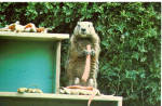 Click here to enlarge image and see more about item p28528: Groundy the Gourmet Groundhog Postcard p28528
