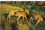 Whitetail Deer in Poconos PA Postcard p28534
