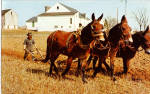 Amish Farmer Plowing with Three Mules