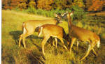 Click here to enlarge image and see more about item p28828: Trio of Deer Postcard p28828