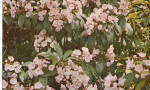 Click here to enlarge image and see more about item p28838: Mountain Laurel State Flower of Pennsylvania