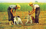 Amish boys and their Pet Dogs p28978
