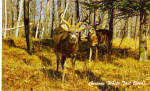 Curious White Tail Bucks Postcard p29058