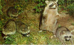Click here to enlarge image and see more about item p29070: Family of Raccoons Postcard p29070