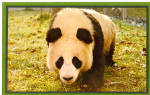 Click here to enlarge image and see more about item p29073: Panda National Zoological Park Washington DC p29073