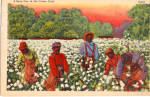 Click here to enlarge image and see more about item p29339: A Busy Day in the Cotton Field p29339