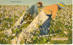 Click here to enlarge image and see more about item p29353: Picking Cotton, Texas The Lone Star State