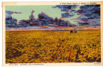 West Texas Ocean of Wheat at Twilight Postcard p29371