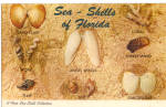 Florida Shells 8 Shells Shown Named Postcard p30145